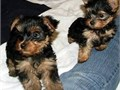 Healthy Yorkie Puppies  BoyGirls  11weeks old  vaccinated and come papers int