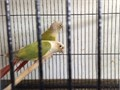 ONLY SERIOUS BUYER PLEASE Cinnamon Green Cheek 20000 each