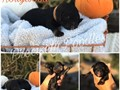Beautiful standard poodle puppies ready to go to new forever homeswwwpreciselypoodlescom 951-