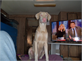 DOBERMAN PUPAKC12 MOS WHITE WBLUE BYES MALE MICROCHIPTaildewclaws done shots current This