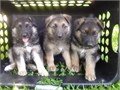 Purebred German Shepherd Puppies   8weeks old ckc registered vaccinated and dewormed  Written h
