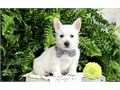 lovely male and female West Highland Terrier Pups available they are current on all shots very acti