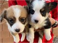 Very Lovely Pembroke Welsh Corgi puppy for Rehoming  They are very intelligent and cute  current o