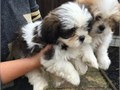 Cutest  Shih Tzu pupsSuper cute adorable puppies looking for their new homesT
