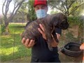 We have AKC Cane corso puppies for sale They were born on January 21 Only fema