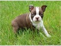 Sensuous Boston terrier puppies availableThese puppies akc registered  vet checked and will come w