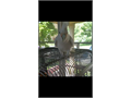 4 year old Goffin cockatoo parrot Smart and super funny Knows few words and with some dedicate