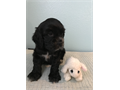 Adorable CKC registered Cocker Spaniel Female one left born 2-5-17tail dockedfirs shotsdeworme