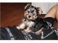 2 male teacup yorkies first shots and deworming tail docked parents on site their is a rehoming