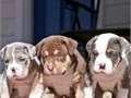 loving little Pitbull puppies looks just like their parents   anyones lap that will have her  gr