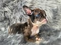 Welcome to Celebrity Frenchies We specialize in breeding and finding new home
