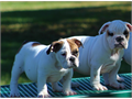 AKC English Bulldog pups mf 9 wks will make a great family member Contact for details 1400  909