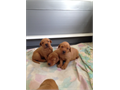 Labs AKC Dark Fox Red Pups 3 males left Dew claws removed Shots Chipped Hips guaranteed Raised