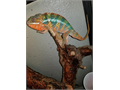 Im selling my 1yr old healthy and humble chameleon His name is mango he throws off a lot of color