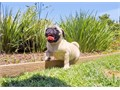 Ethan is a Fawn male Pug pup He was born on 4-8-16 and comes with a 1 year Health GuaranteeThis AK