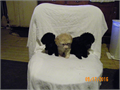 CKC small toy poodles UTD on shots 3 black girls and 1 tan male Call Brenda they need a good loving