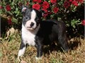 Boston Terrier PupsMFs10wks Shots UTD with papersFor instant feedback Text or call 510-296-5061