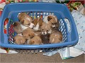 Pembroke Welsh Corgi Puppies For SalePembroke Welsh Corgi Puppies For Saleplease contact me throu