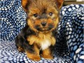I have 6 adorable Morkie puppies MalteseYorkie mix 4 Males  2 Females These puppies are mello