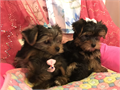 Yorkie Puppies female and  Male Both Parents Are On Site 1st Set Of Shots  8 Weeks Old Female And