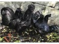 Ayam Cemani For Sale For more information on these lovelies kindly text me via 707 400 675