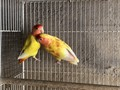 Young Adult pair of lovebirds just over a year old never been breed before Come with home shape c