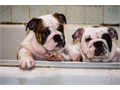 Make this summer one to remember with a quality American Kennel Club English Bulldogs We have the l