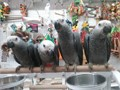 African Grey Congo Parrot Babies for Sale Extra Large Cameroon style 2100 each Presently being ha