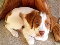 brittany spaniel puppiespotty trainedvet checkedhealth guaranteedplayful with kids and other
