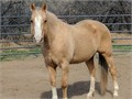 Be the envy of the riding group with this Flashy Palomino MareShe is a dream on the trail Will g