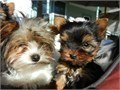Summer sale on Beautiful Purebred Yorkshire Terrier Puppies with adorable Teddy