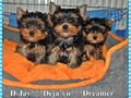Toy T-cup Yorkie Puppies available for adoption  They are 11 weeks old  potty trained up to date