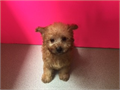 Maltipoo Gorgeous coloring teddy bear face curly poodle hair puppy by a licensed breeder had a v