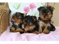 Cute Yorkshire PuppiesFor more detail info on these lovely puppies kindly text me vai  424 7