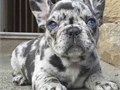 Male and female French bulldog puppies They are up to date on their shots and come with all papers