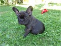 male and female French bulldogs for sale ready to go to their Dream house  for more  just send me a