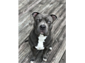 Lost Blue Pit with white down his chest Last seen on Belair Road by Barrett Crossing May have been