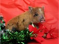 Mini Piglets just in time for Santa Being socialized with kids  other animals  They will be worm