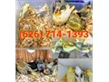 626 714-13-NINE-THREE -We have tame cockatiels to hand feed prices start at 125-The pric