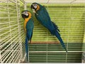 Beautiful Proven Pair of Blue  Gold Macaws for 7000 Now Shipping Nationwide USA No Emails Please