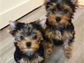 httpswwwfacebookcomYorkie-Puppies-For-Sale-101043855568838Yorkie puppies for adoption thes