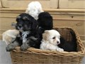 Beautiful very fluffy toy maltipoos ready to leave us on the 18th SeptemberThey are being micro c