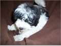 Adorable male blackwhite parti Havanese puppy  Outstanding champion bloodlines Full AKC registrat