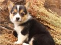 Corgi puppies up for adoption for more info and pics please call or send text to