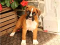 These are very healthy purebred Boxer puppies born from parents with no health issues For more inf