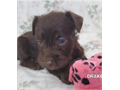 These LIVER CHOCOLATE  Mini-Schnauzer puppies are looking for their forever ho