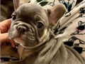 french bulldog Puppies they are Very sweet and loving also very smart need to rehome Working the pot