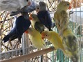4 months lovebirds 100 each lovebird and 120 violet white head 4 meses lovebirds 100 cada