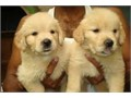 golden retriever pups on Mondayif anyone is interested I can take your detailsparents are hip scor