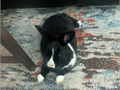 10 Month Netherland Rabbit He is litterbox trained and has been neutered He is good with kids m